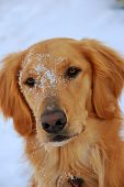 golden retriever puppy portrait he has snow all over face and focus is around his nose poster