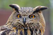 Eurasian Eagle Owl Posing For A Head Portrait poster