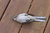 Close up of a stunned bird that is lying on its back on a wooden deck appearing dead (but later flew off) poster