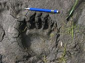 black bear prints in the mud poster