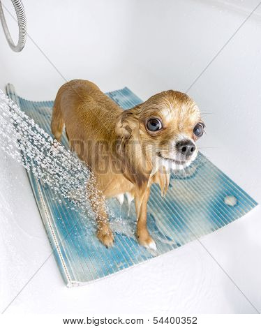 Chihuahua dog in shower