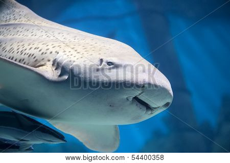 Zebra shark or Leopard shark close-up with suckerfishes