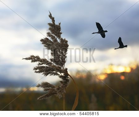 wild Geese Flying Over Bullrushes