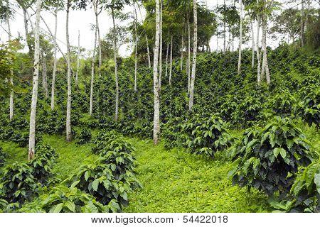 Coffee bushes in a shade-grown organic coffee plantation