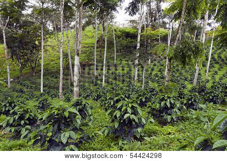 Coffee bushes in a shade-grown organic coffee plantation on the western slopes of the Andes in Ecuador poster