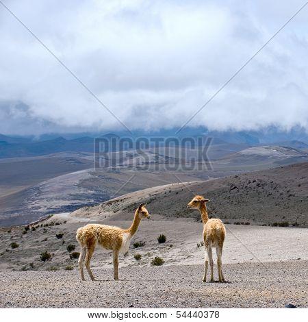 Wild South American camel, Andes of central Ecuador