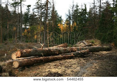 Forest devastation. Firewood.