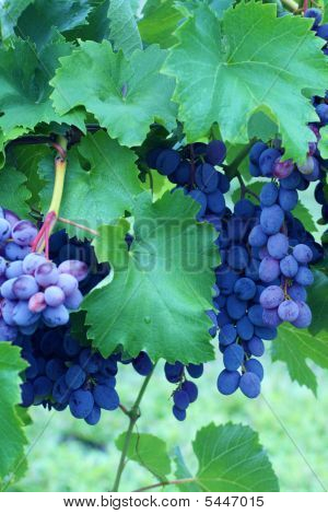 Grapes Ripening In Arlington Vineyard