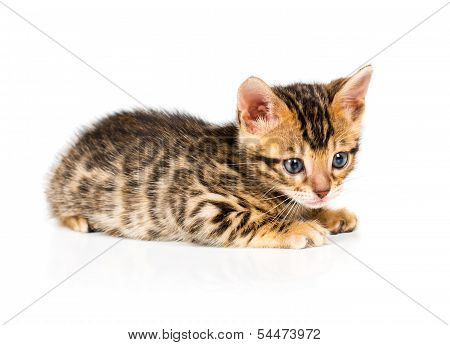 Bengal kitten with reflection on white background poster