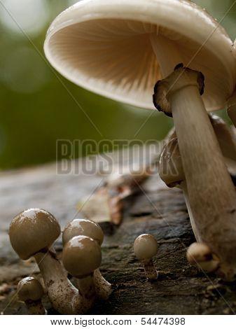 Slimy Looking Porcelain Fungus (oudemansiella Mucida) Growing On A Dead Tree