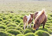Icelandic horse with her colt. Iceland, Europe. poster