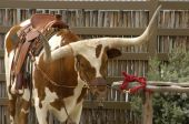 Texas longhorn saddle up and ready to go. poster