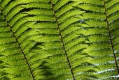 Close up of sunshine through green fern tree leaves in a forest. poster