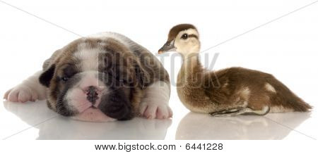 Brindle Bulldog Puppy And Baby Duck