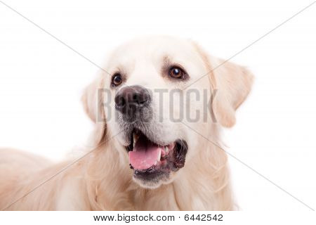 poster of Golden Retriever Portrait - Isolated over white background