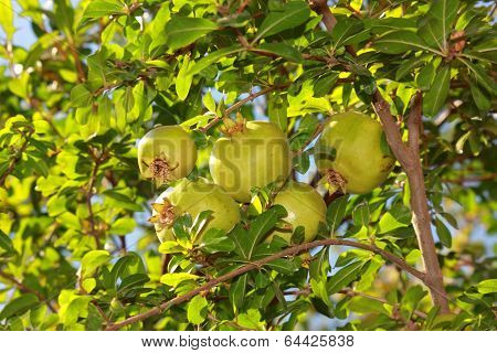 A Bunch Of Pomegranates On Tree With Green Leaves