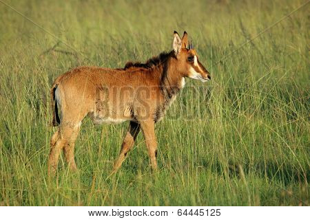 Young sable antelope (Hippotragus niger) calf in grassland, South Africa