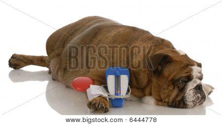 Bulldog Getting Blood Pressure Taken