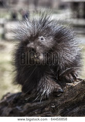 Young, baby porcupine climbing on a log.  Springtime in Wisconsin. poster