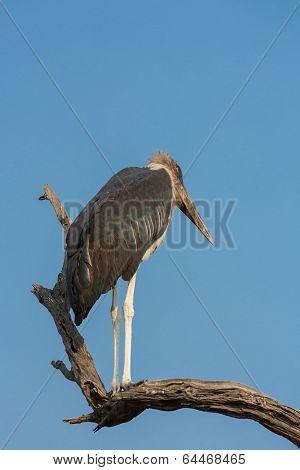Marabou over dead branch