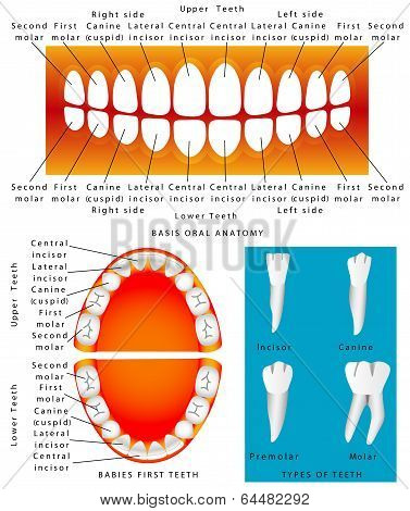 Anatomy Of Children Teeth
