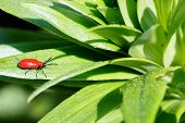 Macro photography of a little insect Small beetle Crioceris merdigera on lily leaves poster