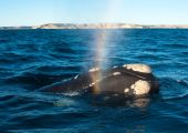 A Right Whale in Peninsula Valdes Argentina. in hi resolution poster