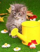 Cute gray kitten with yellow watering can on artificial green grass poster