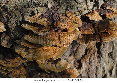 Reishi Mushroom in the forest