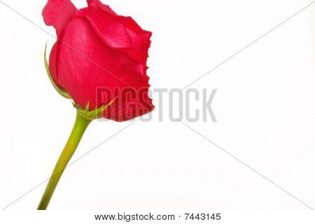 Bitten Rose