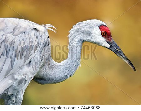 Sanhill Crane Side View
