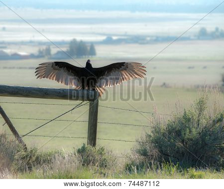 Turkey vulture on fence