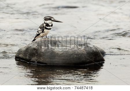 The Pied Kingfisher (Ceryle rudis)