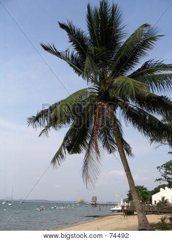 Coconut Tree By The Beach