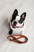 Cute French bulldog with leash in room poster