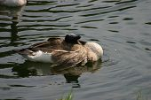 Canadian goose swimming in the water laying head on his back poster