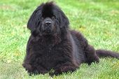 Purebred newfoundland dog stays down as she is being trained in obediance poster