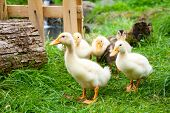 Cute fluffy goslings at a farm poster