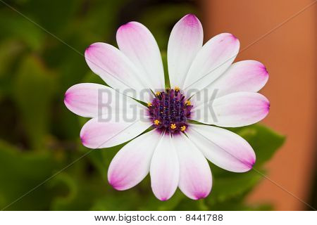 Marguerite closeup