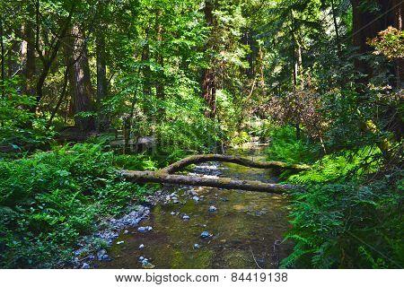 Water In Muir Woods, California