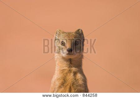 Yellow Mongoose 2