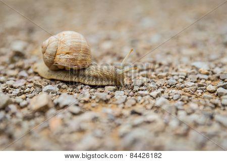 Land Snail Creeping Across A Pebble Surface