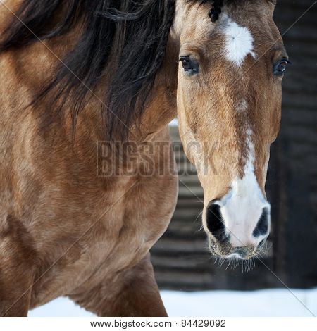 Dun Lusitano Horse Portrait Closeup In Winter
