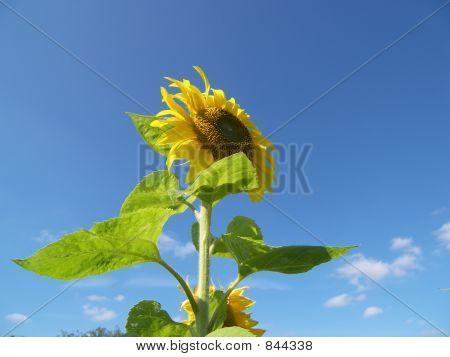 sunflowerallone
