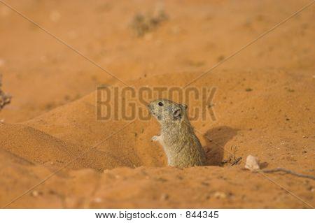 Whistling Rat
