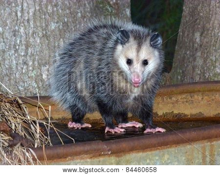 young opossum on frozen trough in Georgia