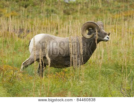 Bighorn Sheep Grazing On Bear Grass