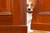 jack russell terrier dog at the door at home watching from behind with curiosity and scared poster