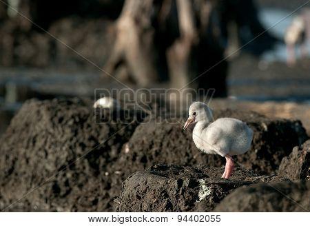 Baby bird of the Caribbean flamingo
