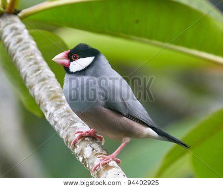Java Sparrow on Plumeria Branch